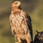 Águila Imperial Ibérica