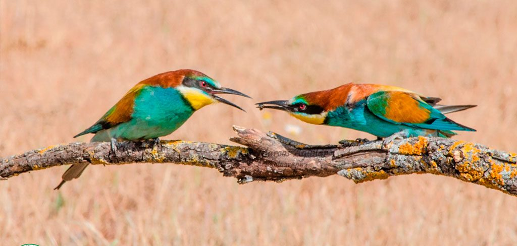 Fotografiar abejarucos