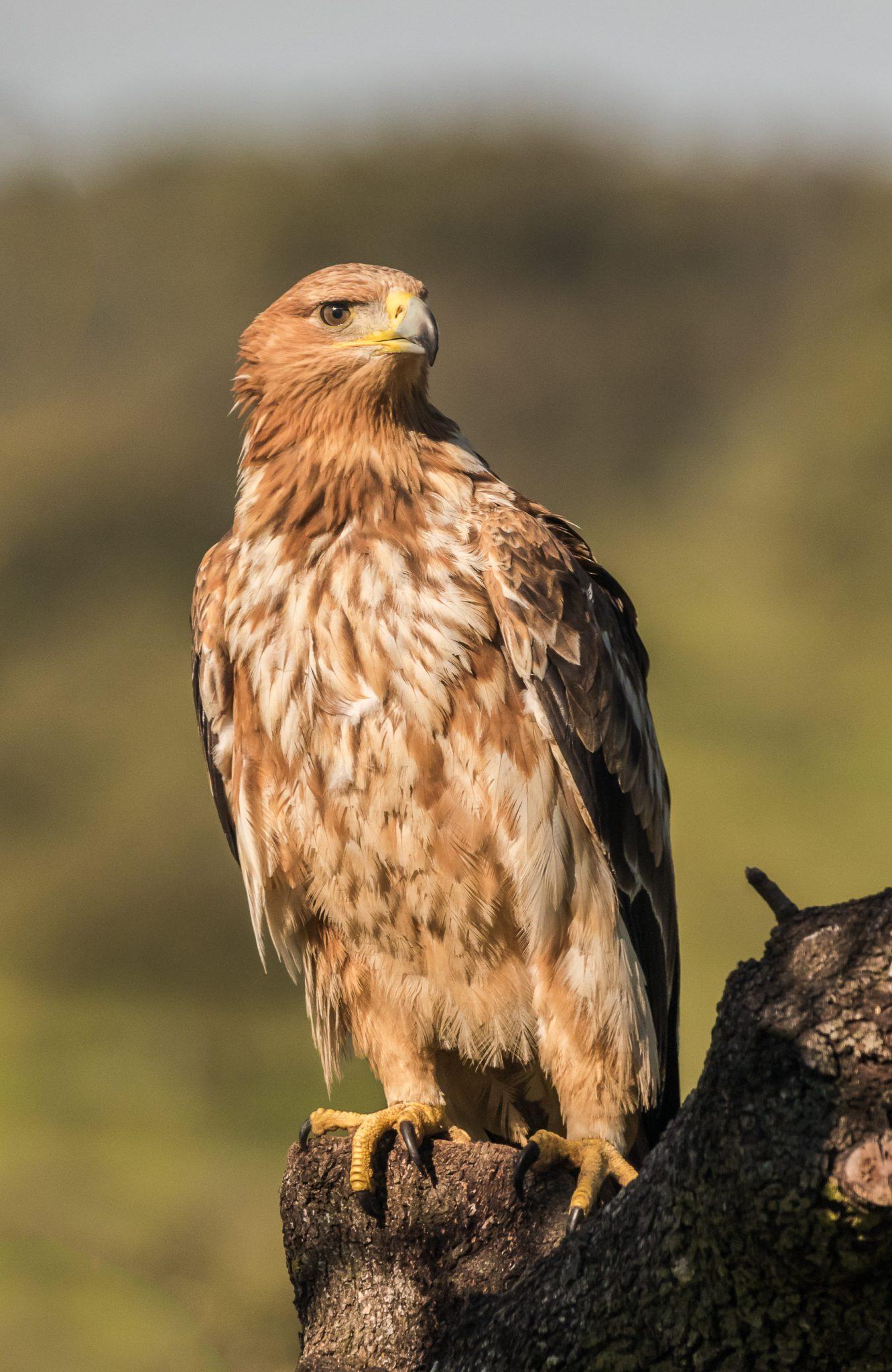 Águila imperial Ibérica en hide La Cañada