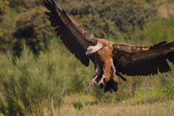 Buitre Leonado en vuelo