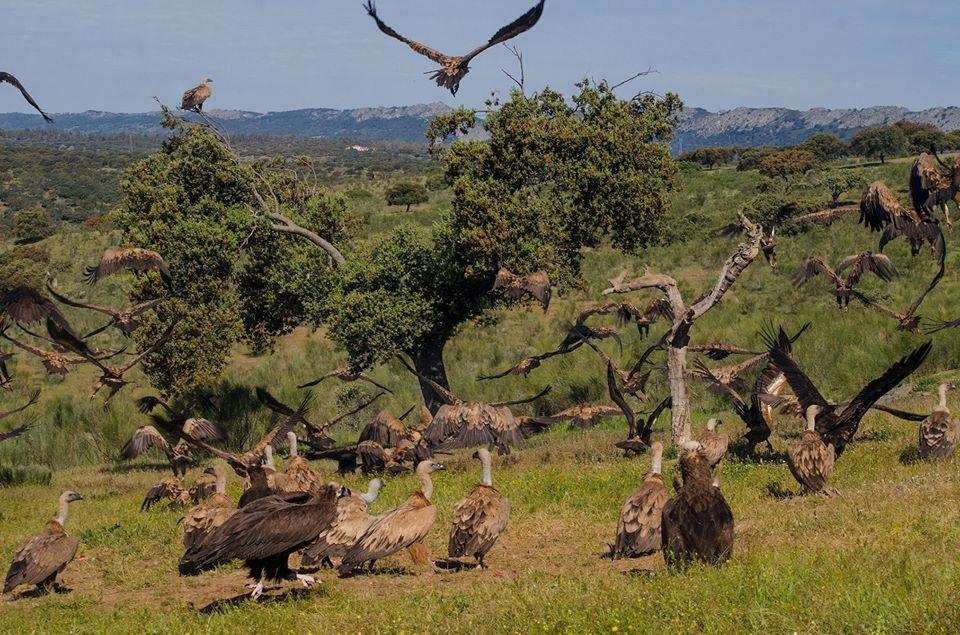 Hide aves carroneras en monfragüe