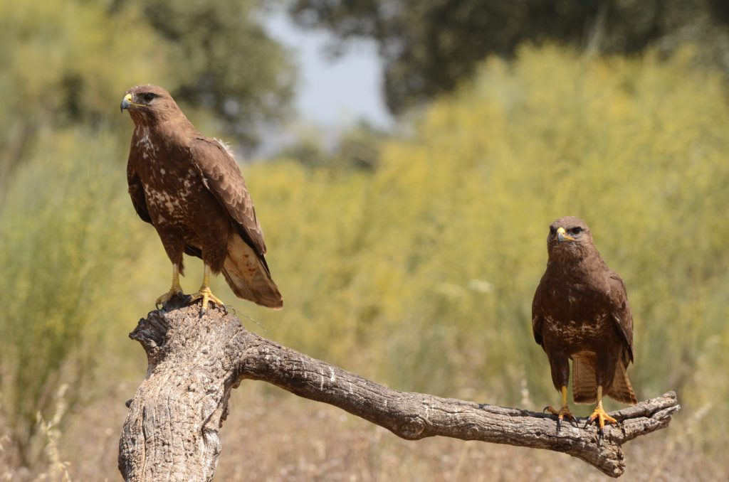 Fotografiar águila ratoneros