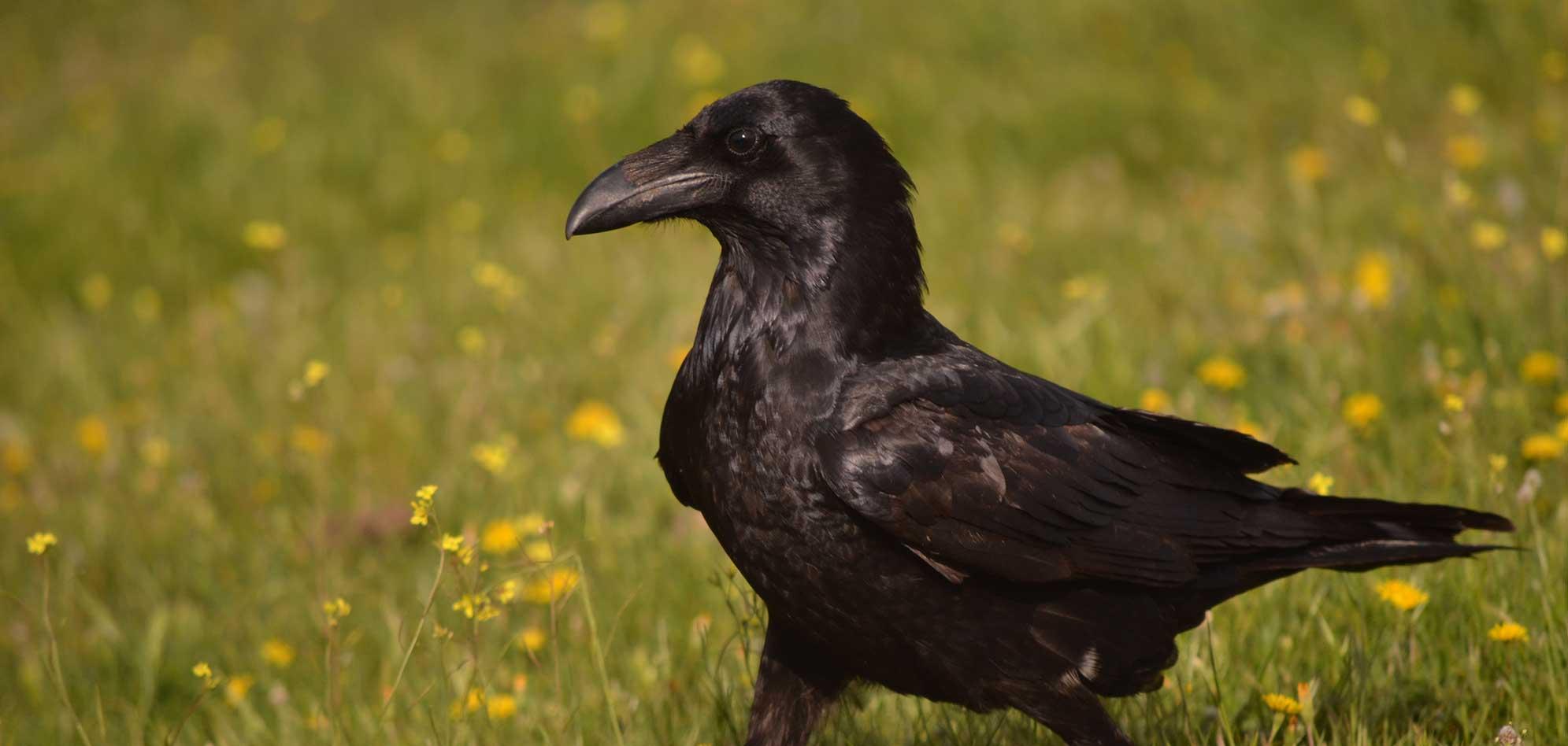 fotografiar cuervo