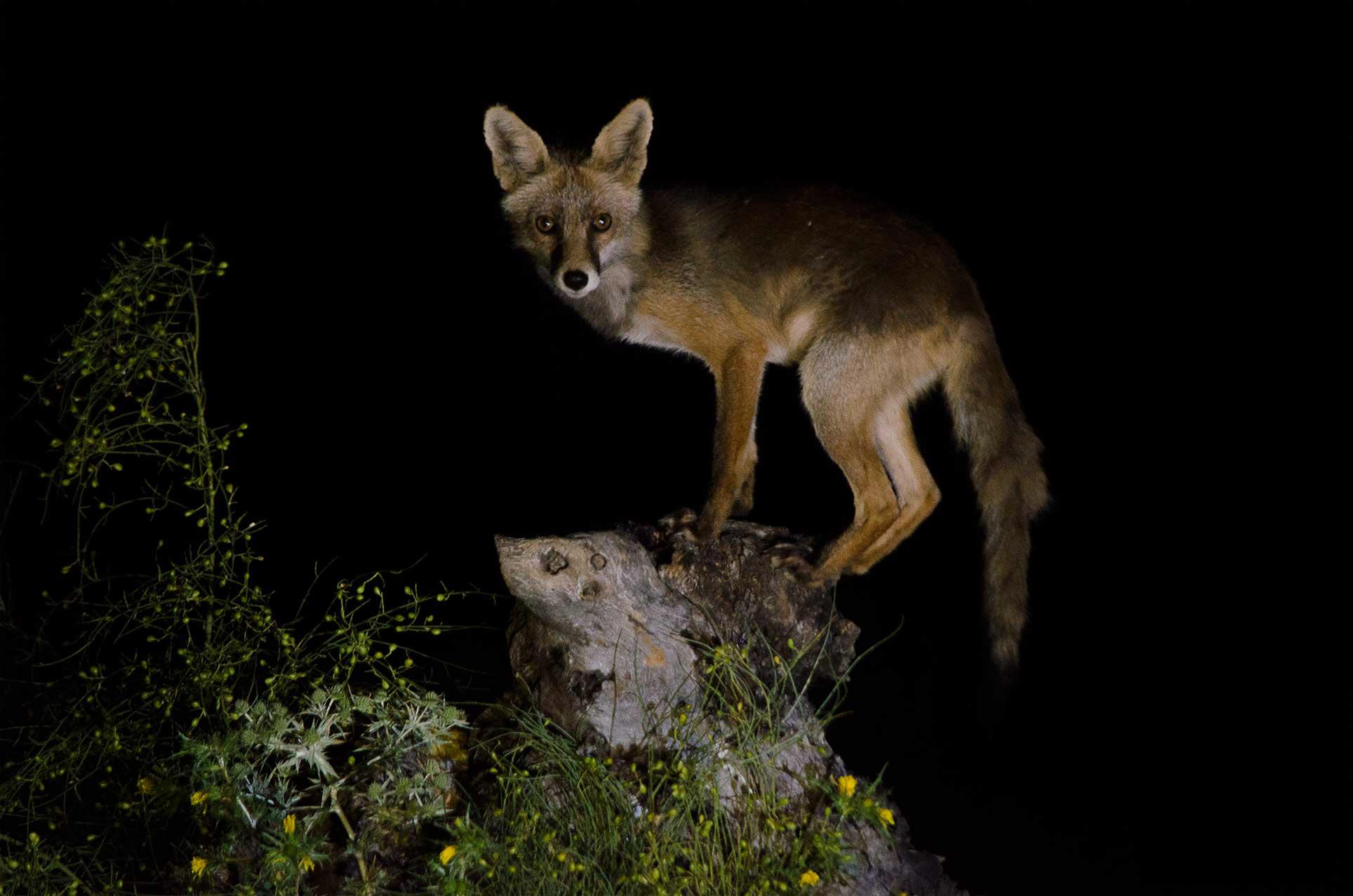 Zorro en monfrague hide nocturno