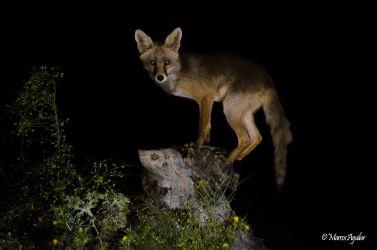 fotografiar zorro en monfrague